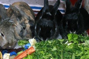 Профилактика поноса у декоративных кроликов