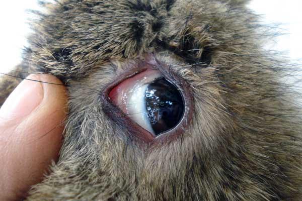 Симптомы кокцидиоза кроликов