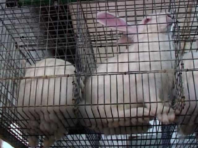 Порода кроликов