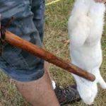 Как проводить убой кроликов на домашней ферме?