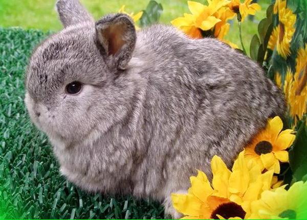 карликовый лисий кролик