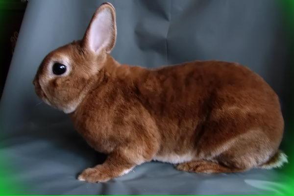 карликовый кролик рекс