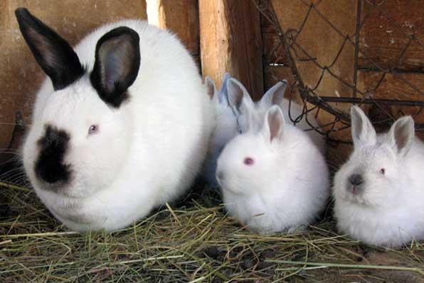 калифорнийцы: самка с крольчатами